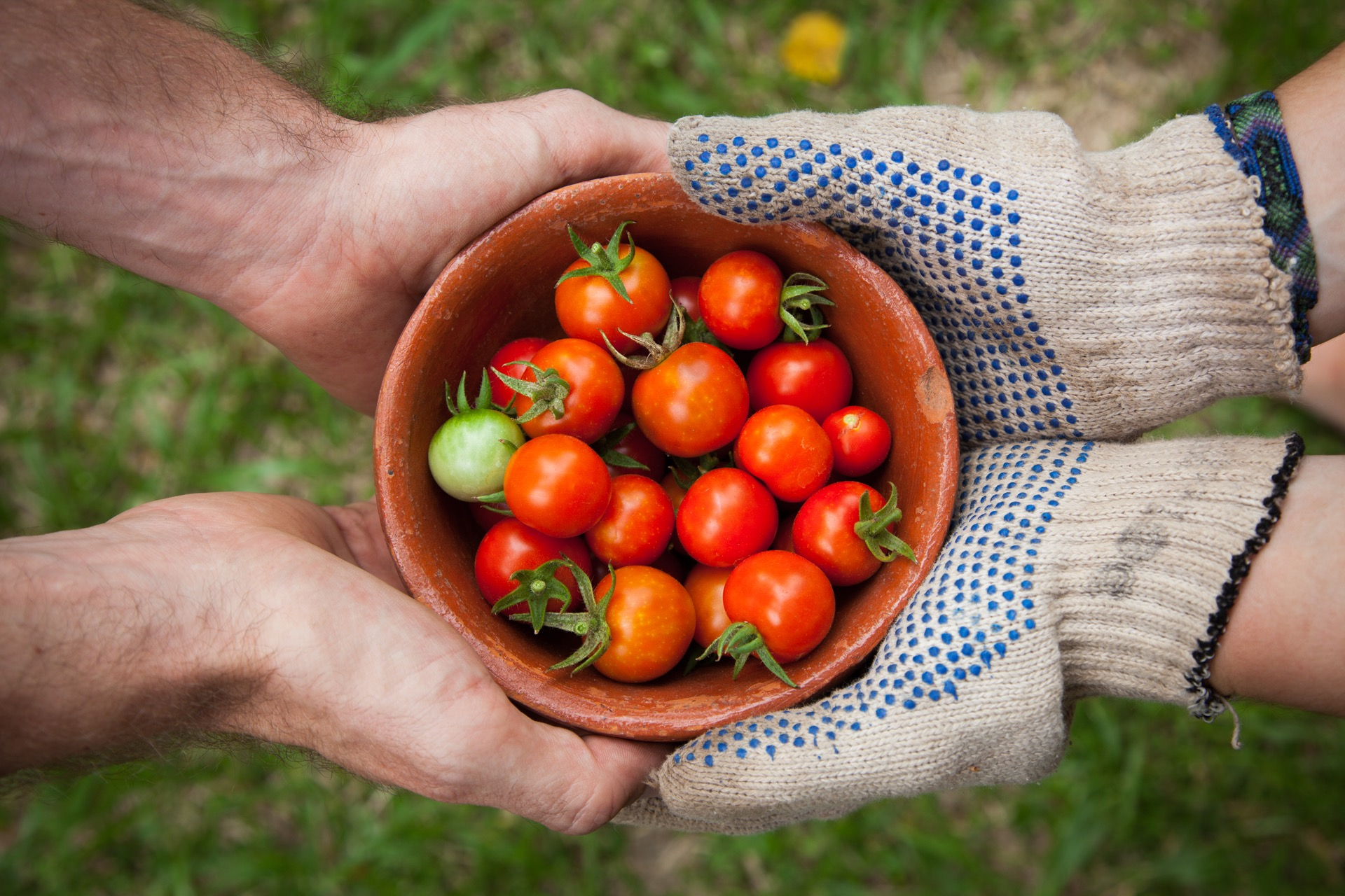 giving tomatoes