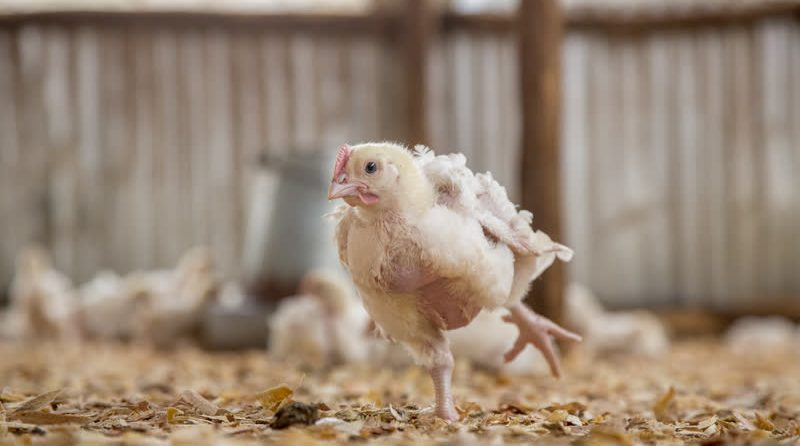 Headless Chicken Solution Propose Matrix Style Poultry