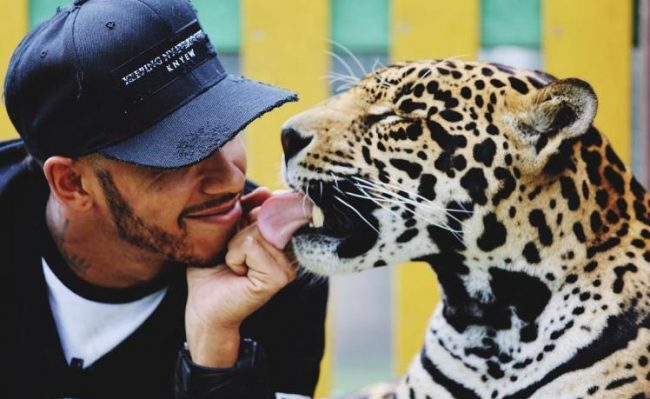 Lewis Hamilton Tiger