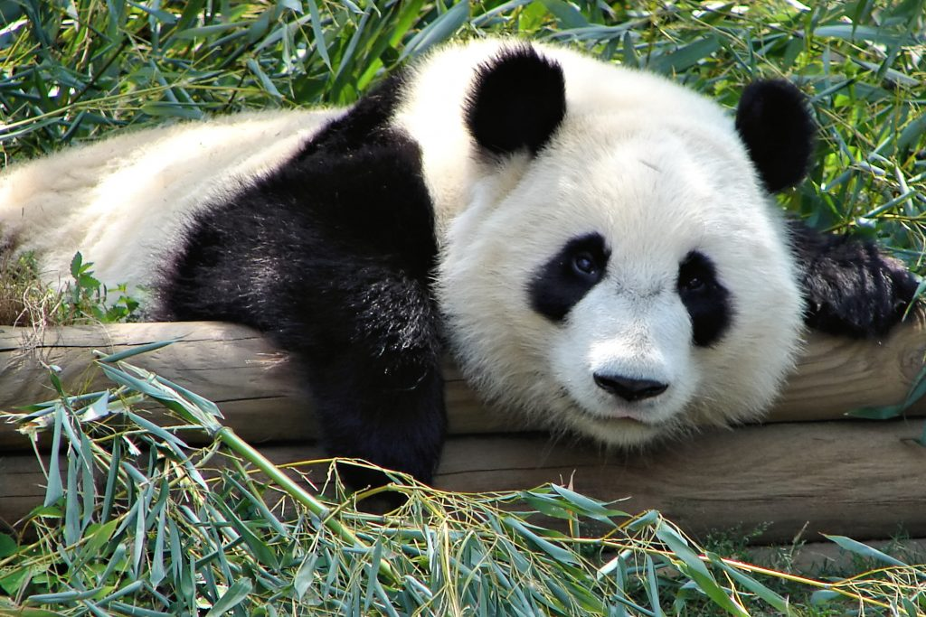 Animal Activist Kristen Bell Selected to Narrate Upcoming Imax Documentary 'Pandas'