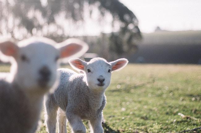lamb vegan substitutes