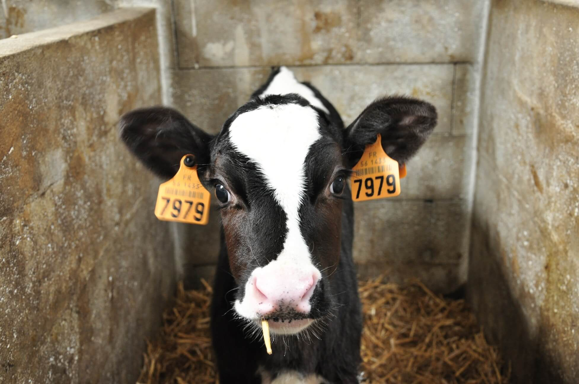 cow baby-2