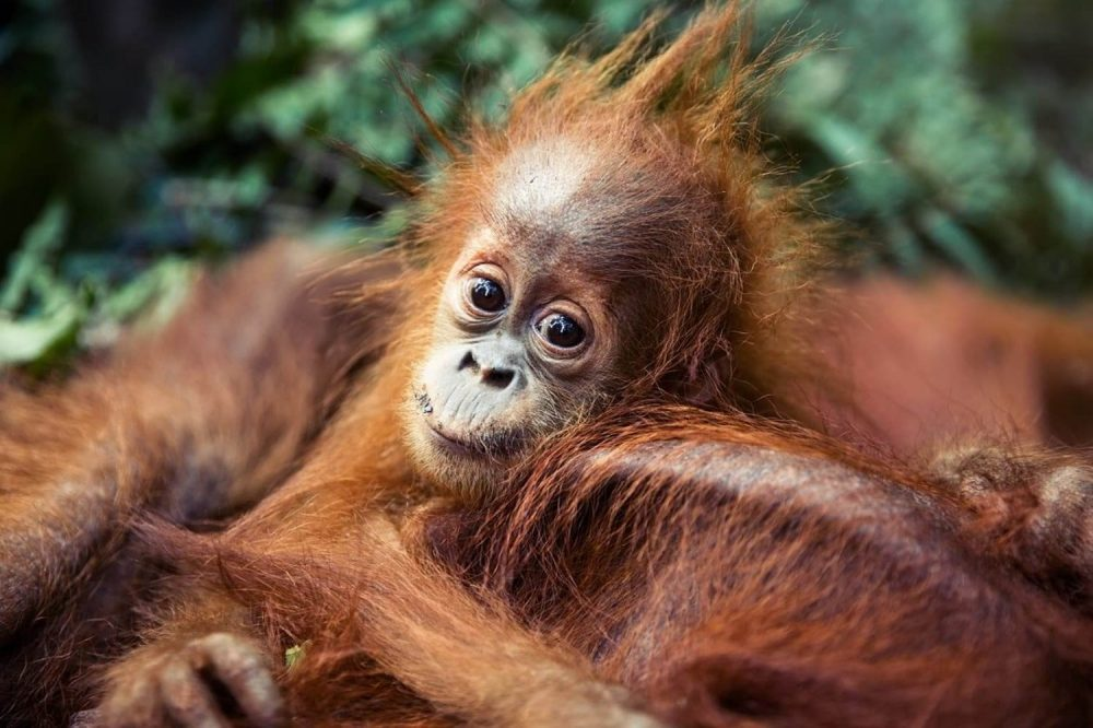 UK Supermarket Chain Cuts Out Palm Oil to Save Orangutans