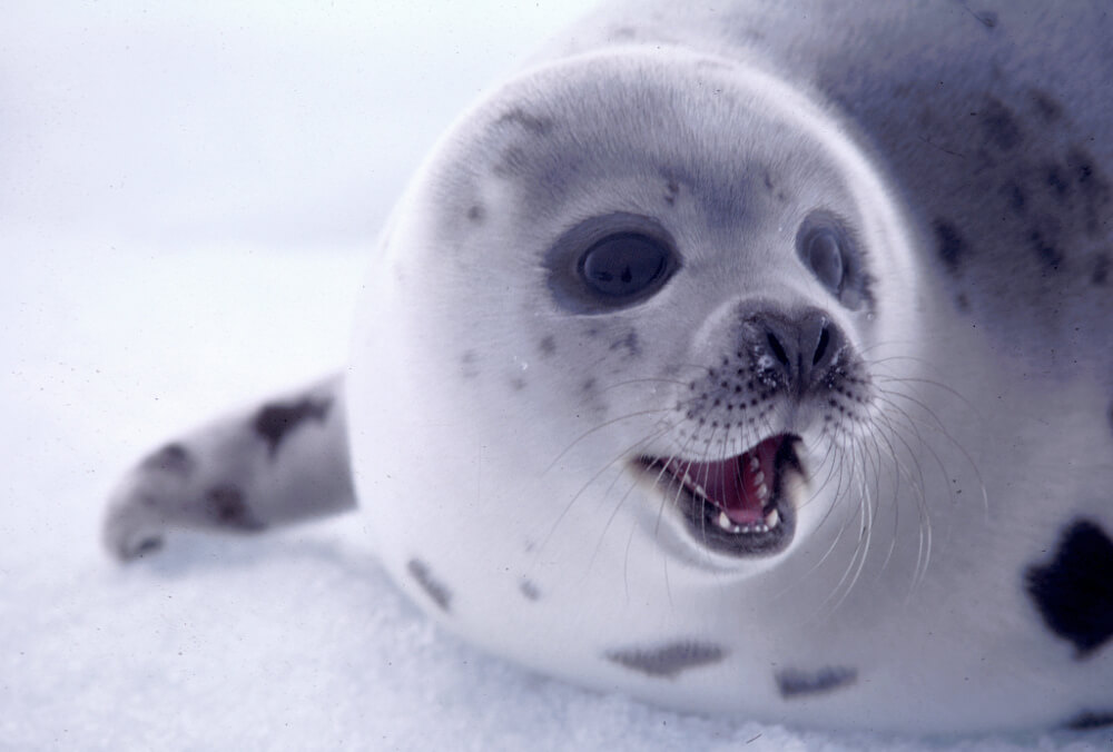 E India Officially Bans Import of Seal Fur and Skins