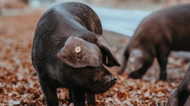 Spain's Pork Habit Is So Big Pigs Outnumber People by 3.5 Million