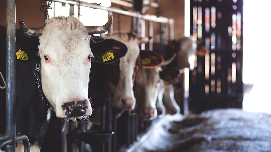 dairy farm cows