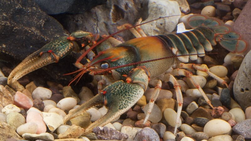 Crayfish Becomes Internet Sensation After Displaying Its Will For Life