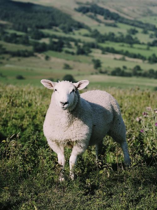 sheep wool field