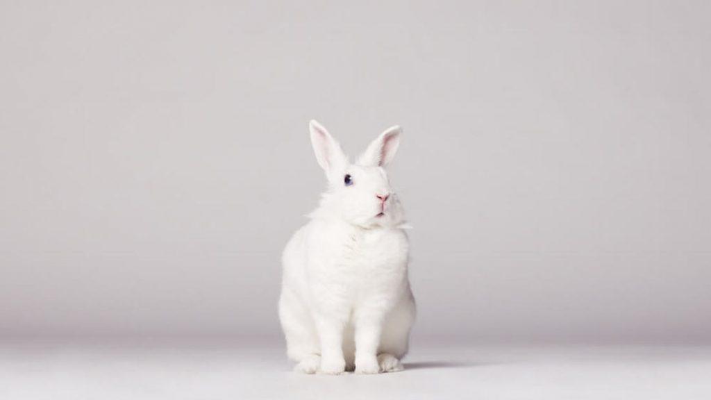 white rabbit Cropped-2