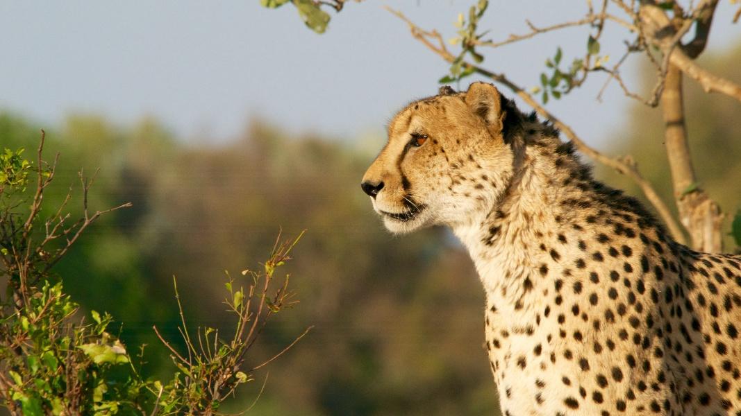 cheetah wild animal