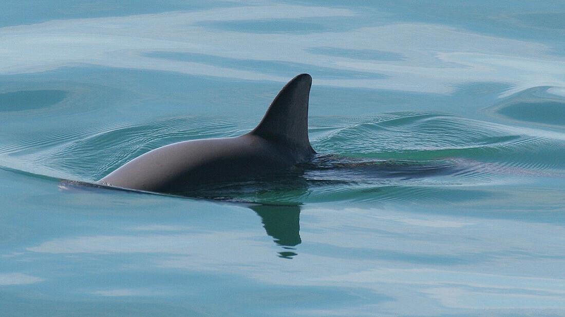 U.S. Bans Gillnet-Caught Seafood to Save Endangered Vaquita Porpoises