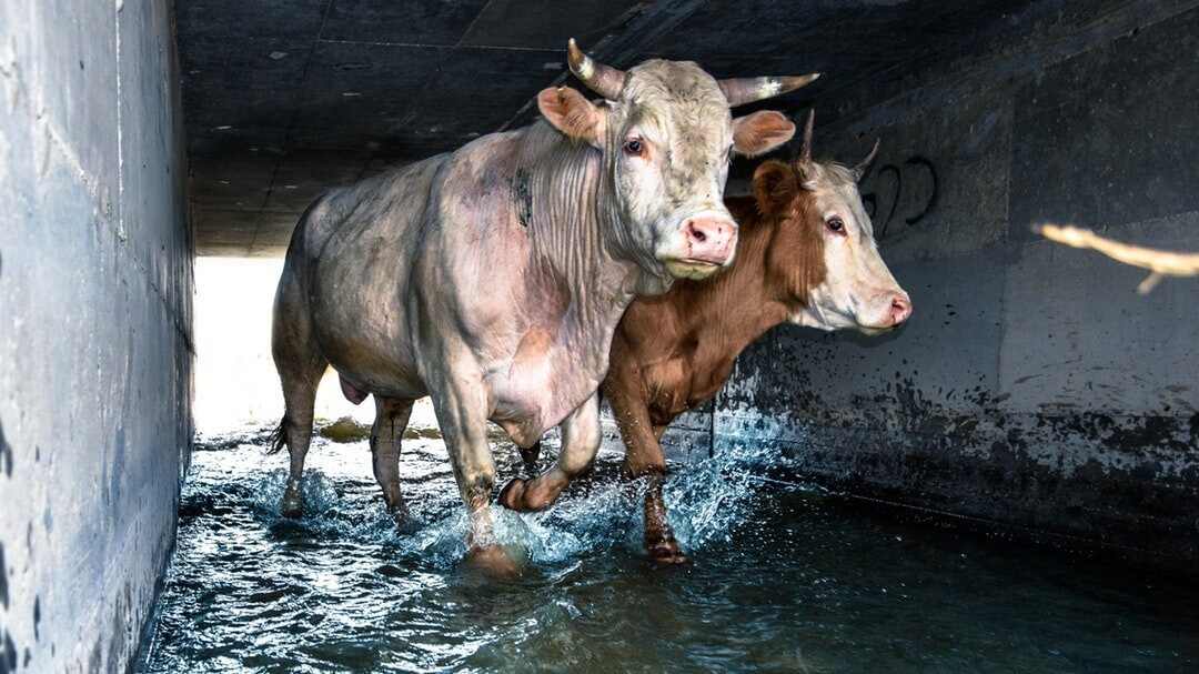 India Bans All Live Animal Exports From All Ports