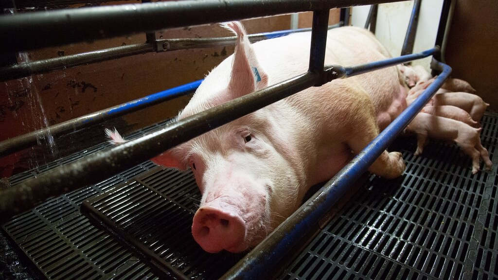Kroger's Pork Suppliers to Phase Out Gestation Crates By 2025