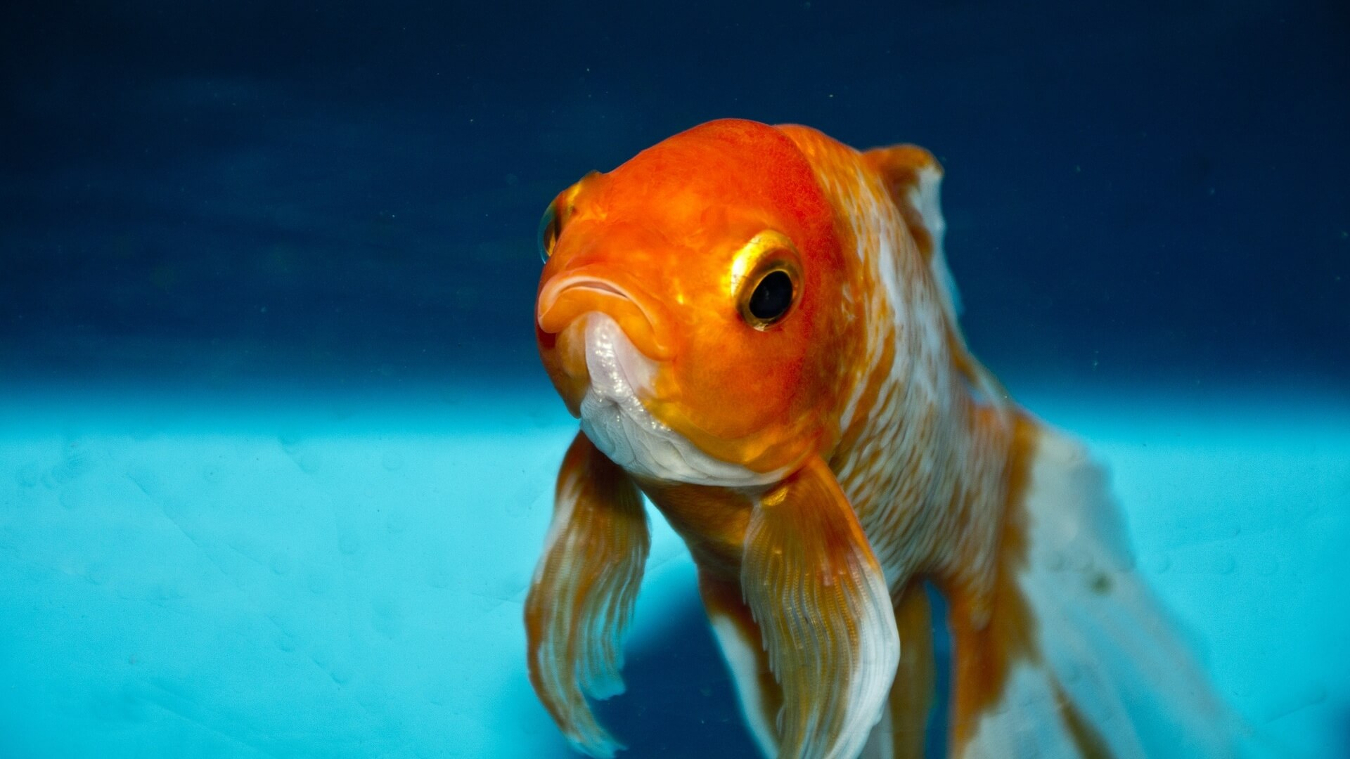 Bundoran Adventure Park in Ireland Bans Gifting Goldfish as Prizes
