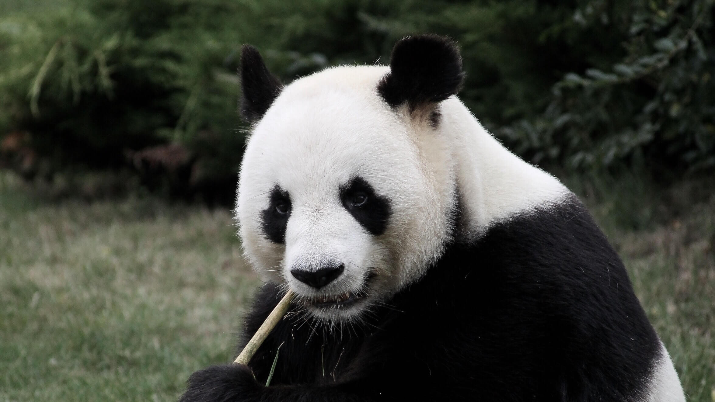 Giant Pandas No Longer Listed As Endangered