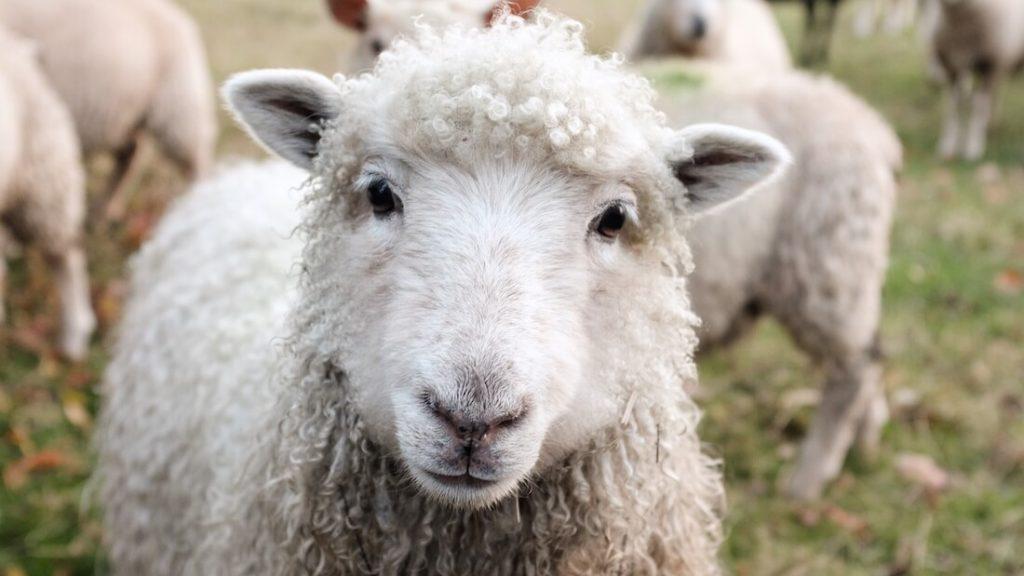 New Zealand Bans Sheep Mulesing