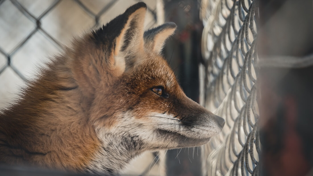 Bulgaria's Agriculture and Food Committee Votes Unanimously in Favor of Fur Farm Ban