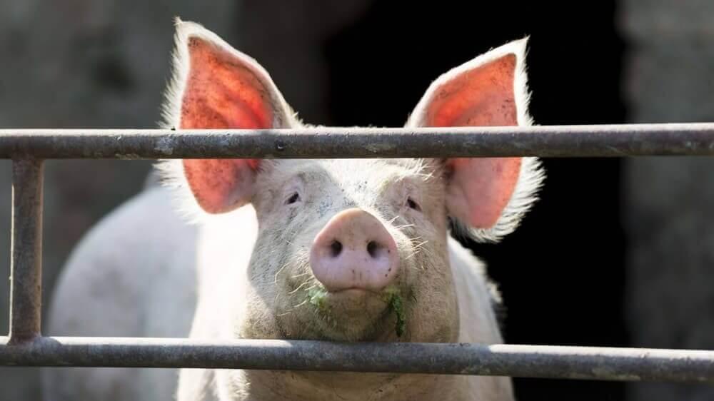 PCRM Doctors Urge North Carolina Residents to Go Vegan After Hurricane Hog Farm Pollution