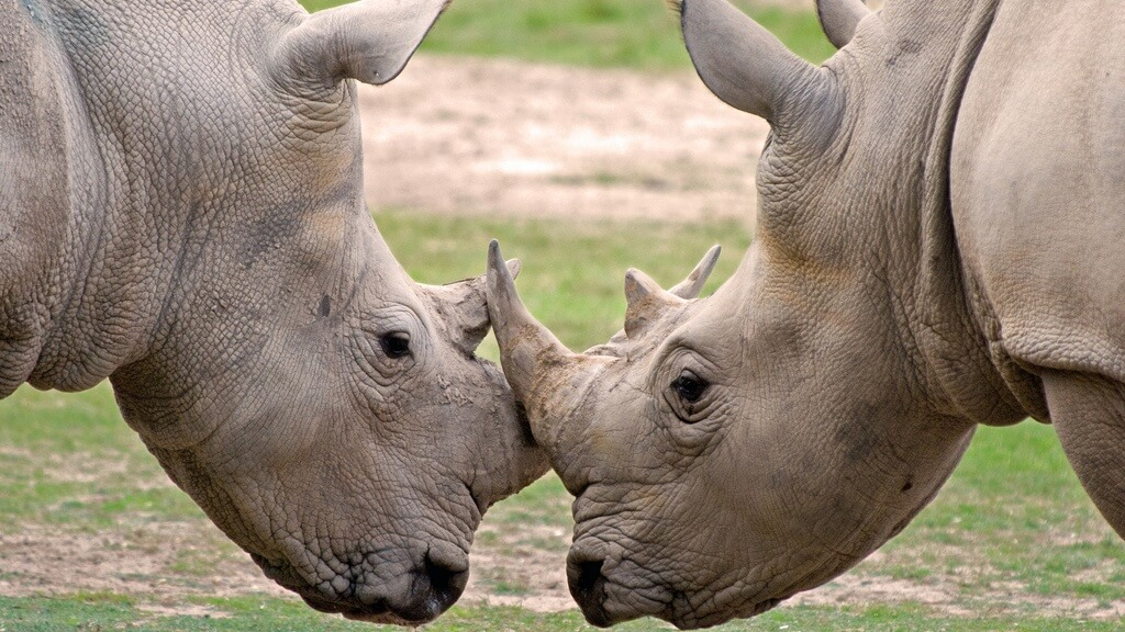 Sotheby's and Bonhams Ban $4 Million Worth of Rhino Horn Artifacts From Auction
