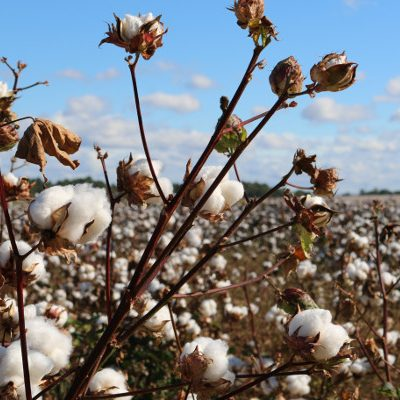 Scientists Are Making Edible Vegan Protein From GMO Cotton