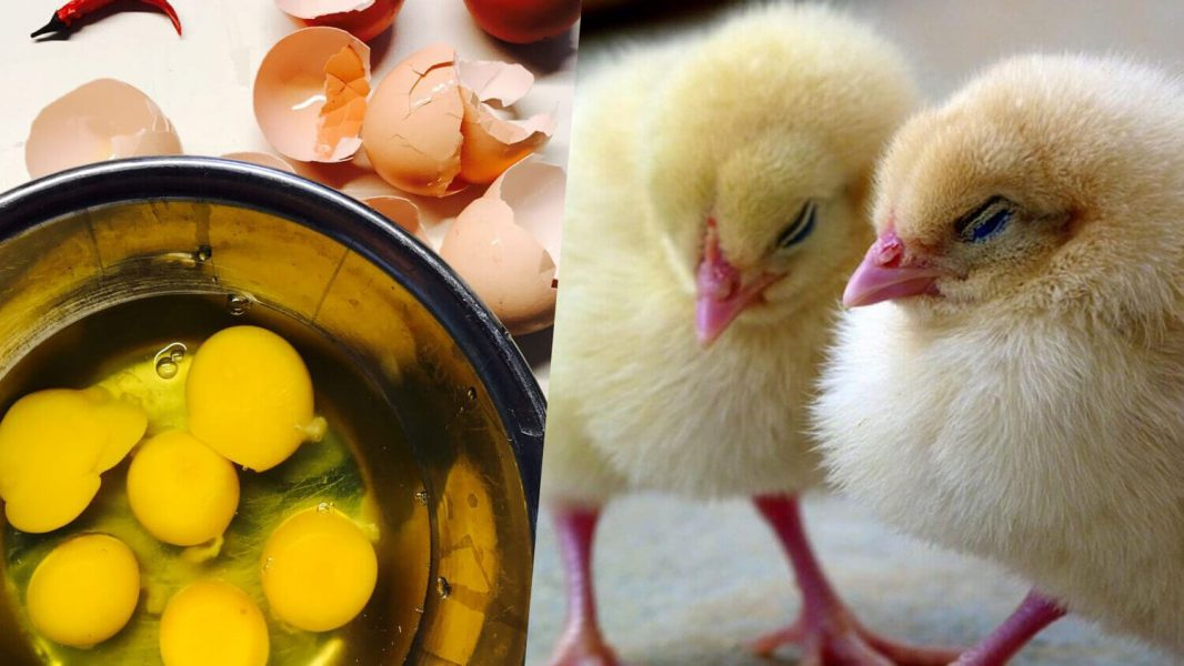 German Company SELEGGT Develops Free Technology for Egg Farms to Eradicate Culling of Male Chicks
