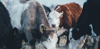 UK Climate Scientists Urge Consumers to Drastically Reduce Beef and Lamb Consumption