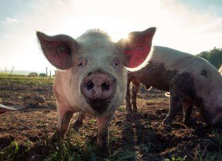 California Passes Prop 12, the Most Progressive Animal Welfare Law in Nation