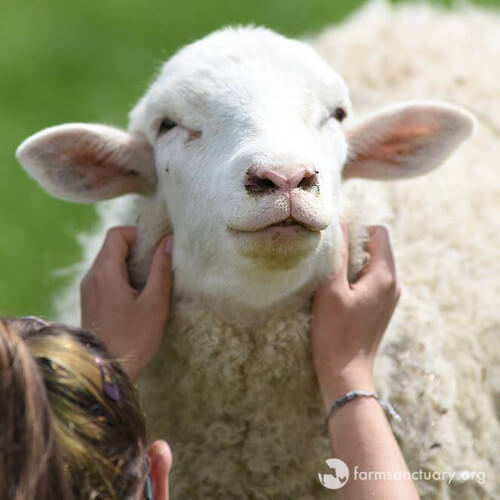 How to Adopt a Rescued Farm Animal (No Barn Required)