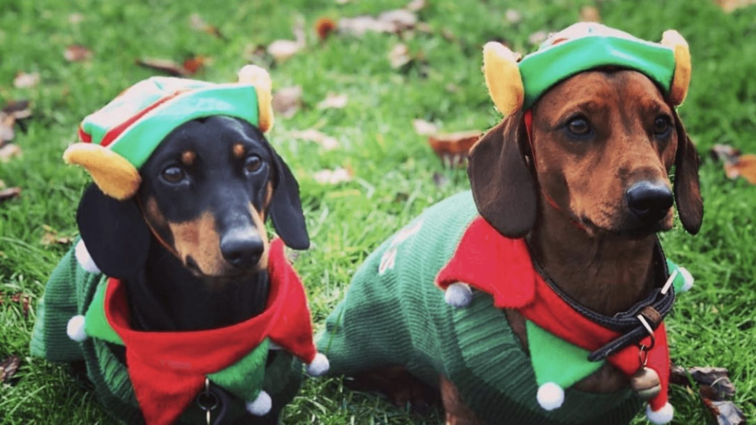 500 Sausage Dogs In Christmas Costumes Took Over London's Hyde Park