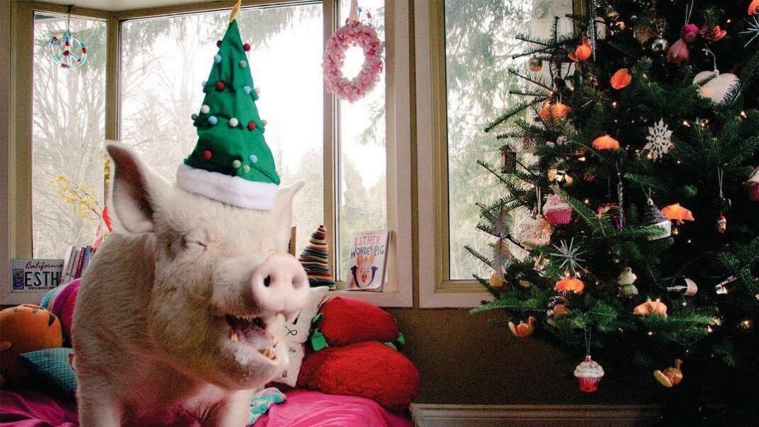 Esther the 'Wonder Pig' Beat Cancer With Help From Thousands of Fans and a Few Vegan Cupcakes