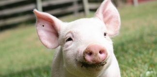 Adopt a Rescued Farm Animal and Support This Vegan Farm Sanctuary