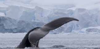 Japan's Departure From International Whaling Commission Ends Antarctic Whaling