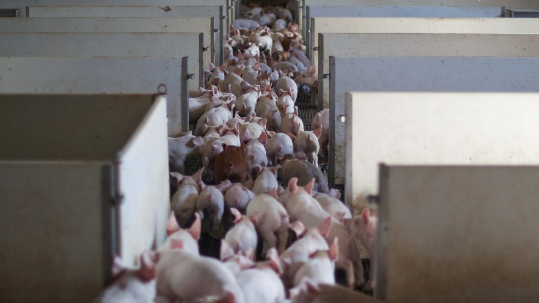 Scottish Parliament to Introduce Mandatory CCTV Surveillance Slaughterhouses