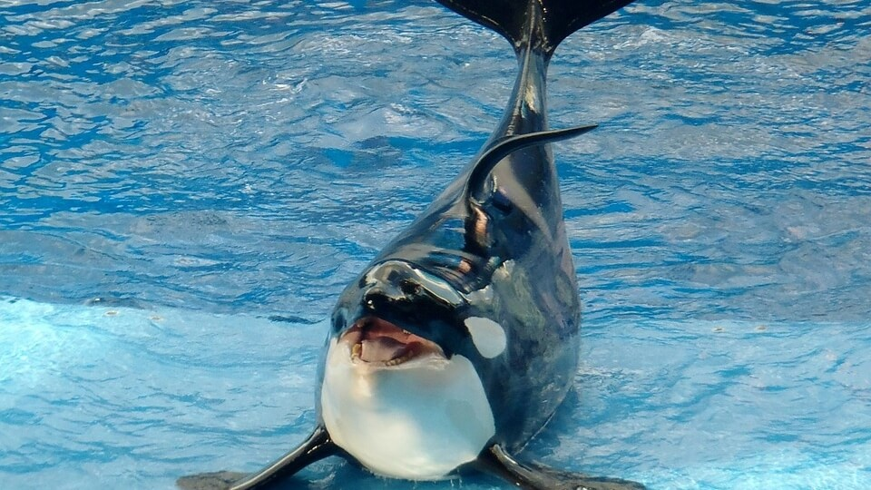 Parody 'Exercise' Routine Reveals How Small SeaWorld Orca Tanks Really Are