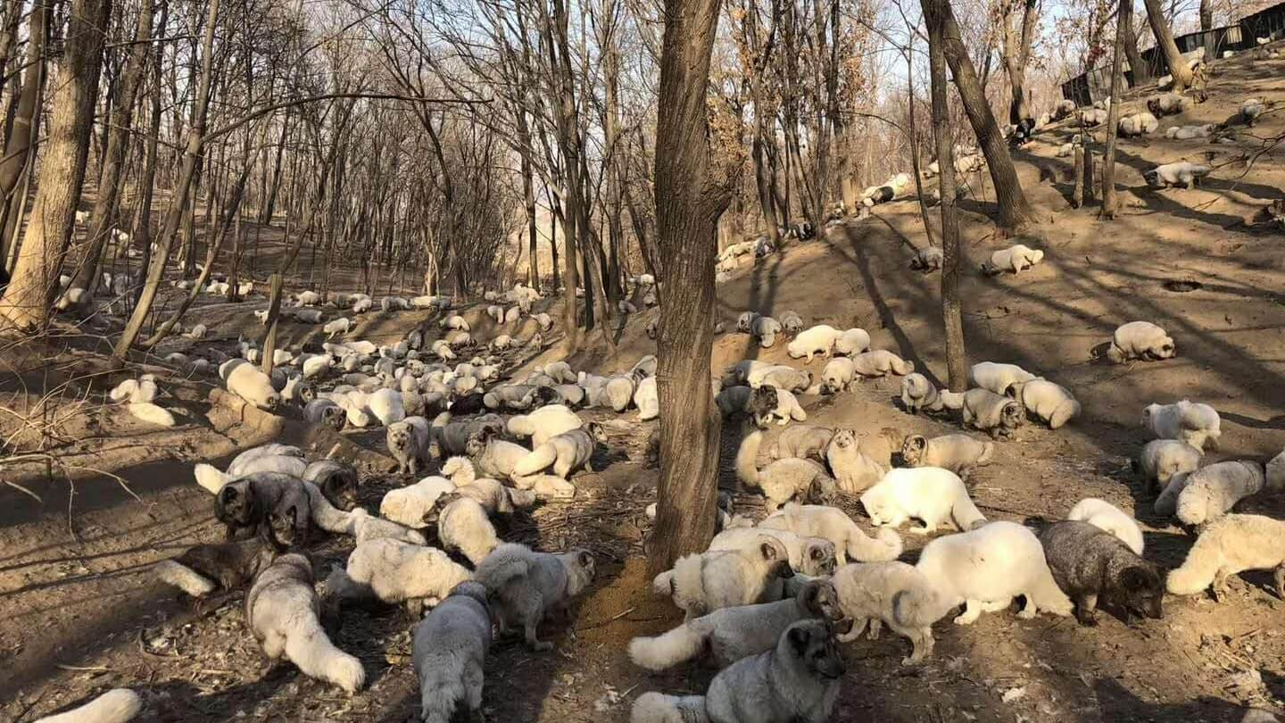 174 Foxes Rescued From Fur Farm Rehomed at Buddhist Sanctuary
