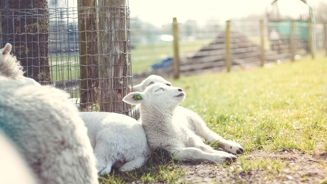 Why This Farmer Gave His Lambs To a Sanctuary Instead Of a Slaughterhouse