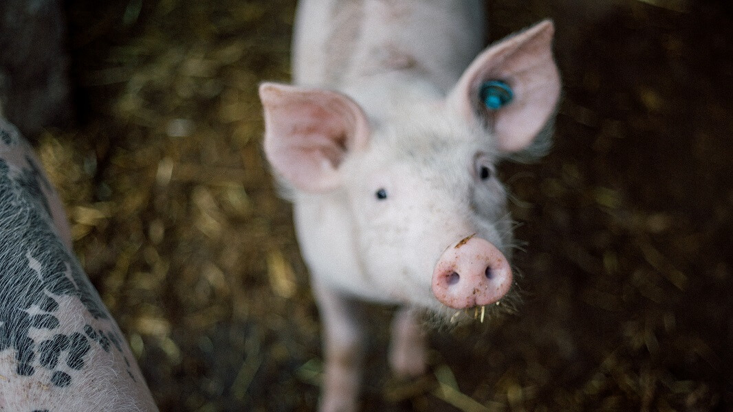 'M6NTHS' Shows What Life Is Like for Factory Farm Pigs