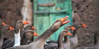 Cruel Foie Gras May Soon Be Banned From New York City