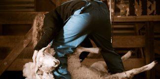 Glasgow Buses Urge Scotland to Ditch Cruel Wool