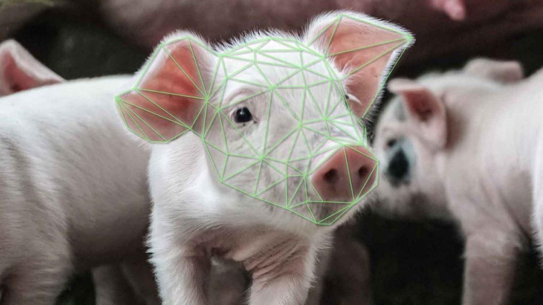 Facial Recognition Technology Developed to Improve Pigs' Lives
