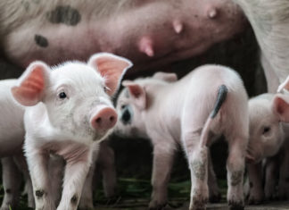 99% of All Animal Products in the U.S. Come From Factory Farms