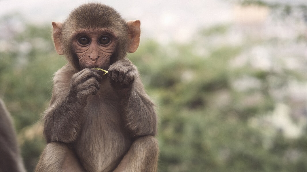 Art Show Stops Exploiting Monkeys After 20 Years