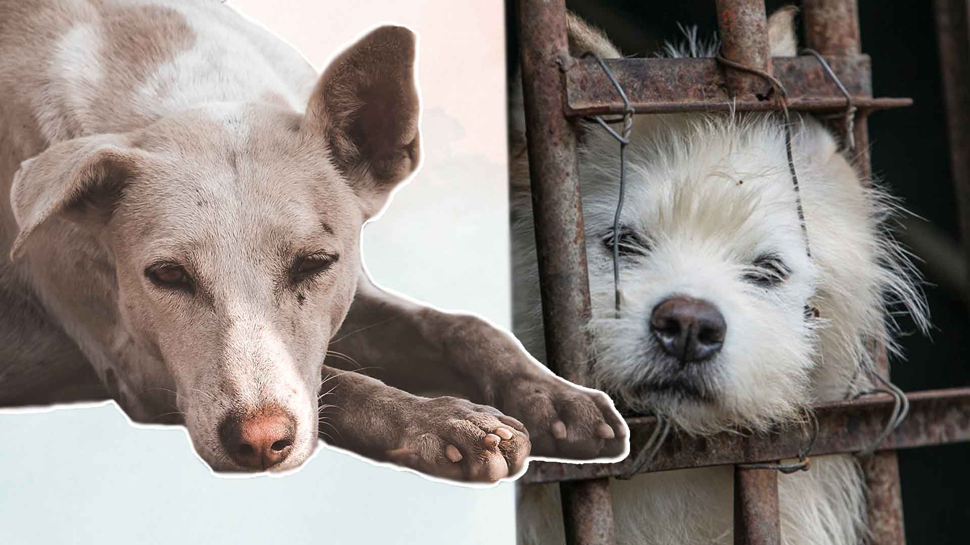 The HONEST TRUTH About the DOG MEAT TRADE (Non Graphic)