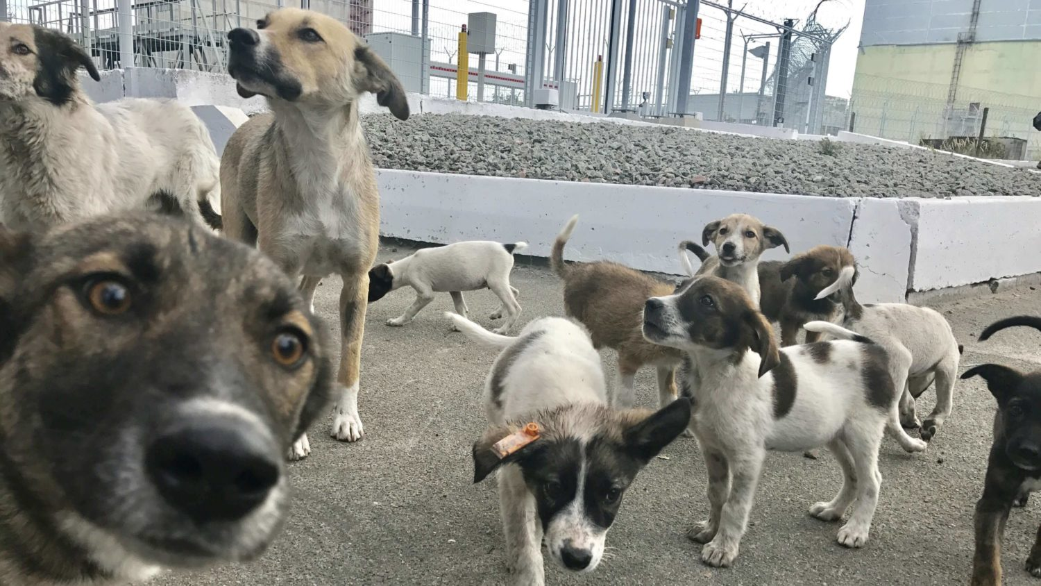 How This Charity Is Saving 100s of Chernobyl's Stray Dogs