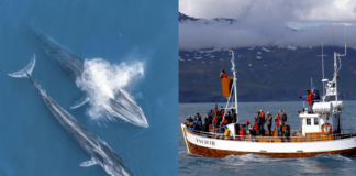 Iceland Cancels Fin Whale Hunting for 2019
