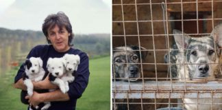 Paul McCartney Begs Texas A&M to Stop Testing on Dogs