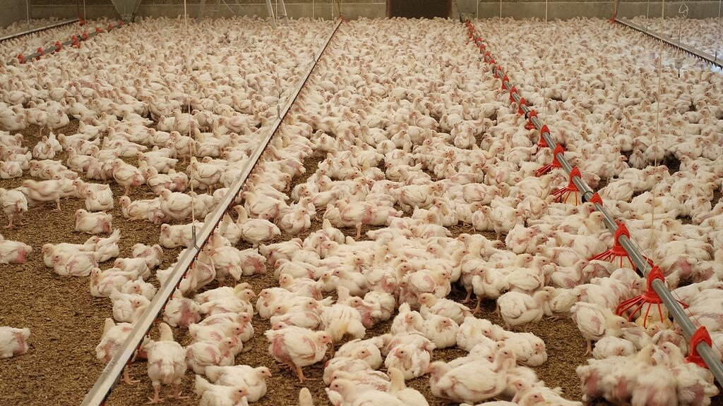 'Chickieleaks' Launches to Expose Chicken Industry Cruelty