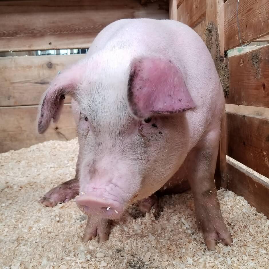 У когда свиней уши за красные болезнь что на ниже крови анализ нормы в12