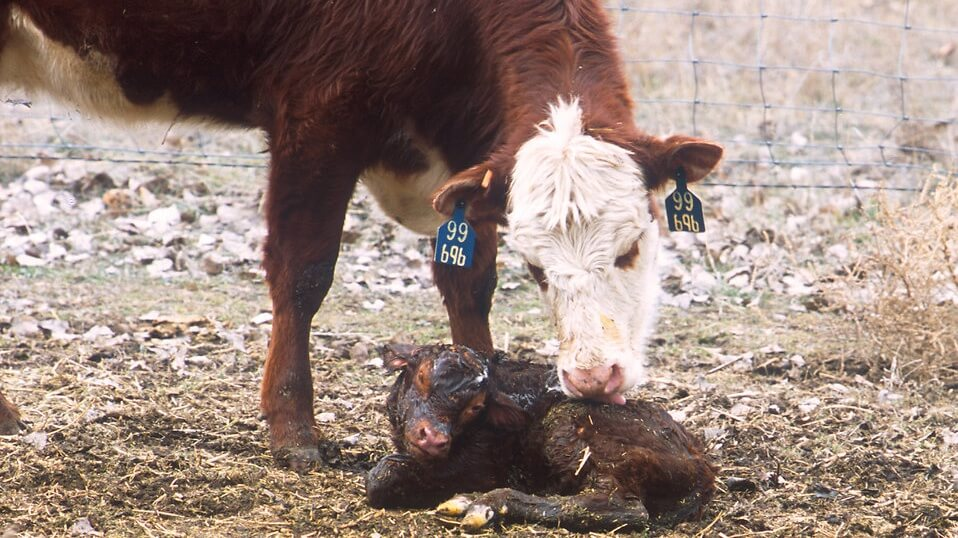 Morrisons Pledges to End Dairy Calf Slaughter
