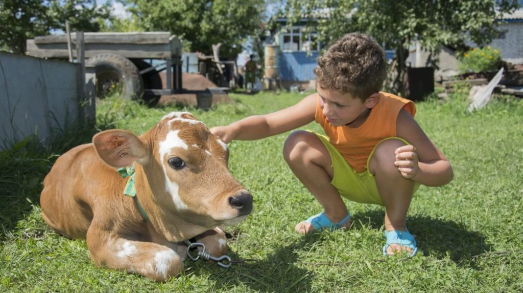 Therapy Cows Are a Thing Now and We Are So Here for It